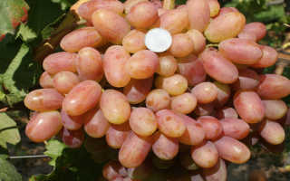 Виноград «Преображение» (29 фото): подробное описание, характеристика и свойства преображенского сорта, отзывы