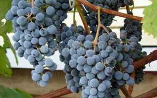 Виноград «Муромец» (12 фото): описание муромского сорта, посадка и уход, отзывы