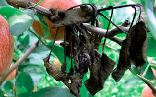 Какие болезни встречаются у яблонь? Методы лечения. Фото
