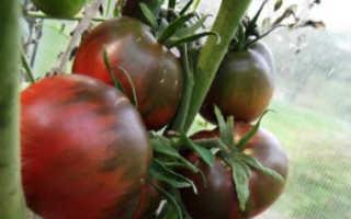 Томат «Черный принц» (17 фото): характеристика и описание сорта помидоров, выращивание и урожайность, отзывы