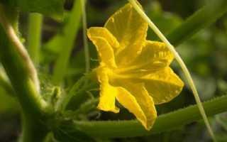 Что делать, если на огурцах в теплице пустоцвет? 12 фото: Почему завязи цветут пустоцветом и