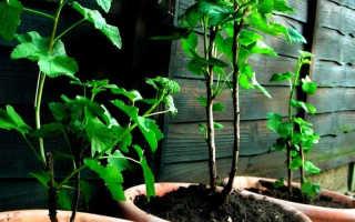 Размножение черной смородины: как размножить зелеными черенками и отводками летом, весной и осенью