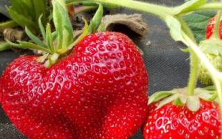 Клубника «Чамора Туруси» (30 фото): описание и характеристика японского сорта, выращивание и уход, отзывы дачников