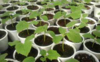 Как прорастить семена огурцов? 37 фото Как быстро и правильно делать это перед посадкой рассады в домашних условиях