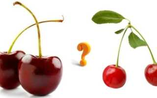Чем отличается вишня от черешни? 13 фото Отличия растений по саженцам, листьям и ягодам