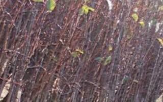 Как посадить черешню? 54 фото Посадка саженцами, обрезка и уход летом, как правильно выращивать и размножать