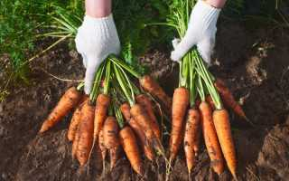 Сорта моркови для хранения на зиму: какие лучшие хранятся, сладкие овощи для длительного зимнего хранения