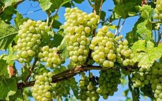 Обрезка винограда (46 фото): нюансы весенней процедуры, как правильно обрезать виноградную лозу, советы для начинающих