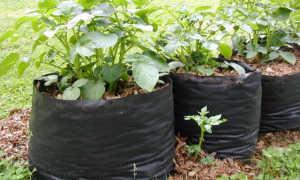 Выращивание картофеля в мешках (19 фото): посадка пошагово и технология выращивания овоща
