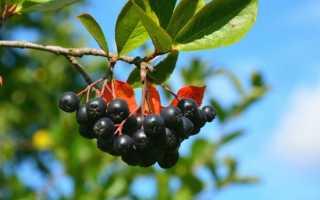Черноплодная рябина (49 фото): лечебные и полезные свойства и противопоказания ягоды, в чем польза черной рябины