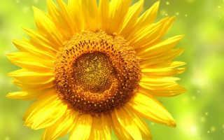 ГОСТ подсолнечного масла: действующие нормы для нерафинированного, рафинированного и дезодорированного продукта 2020