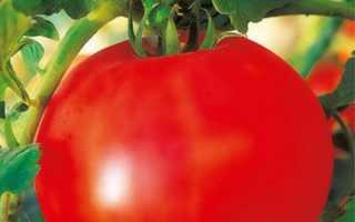 Томат «Оля F1» (16 фото): характеристика и описание сорта помидоров, высота кустов, отзывы