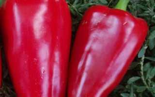 Перец «Богатырь» (32 фото): характеристика и описание сорта, урожайность сладкого красного овоща, отзывы