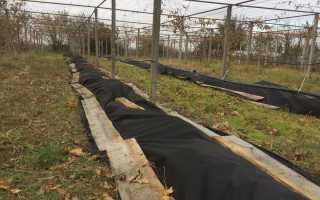 Уход за виноградом весной: как ухаживать, чтобы был хороший урожай, советы бывалых садоводов