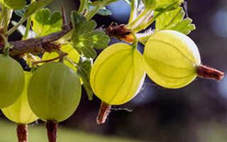 Чем подкормить крыжовник после сбора урожая? 19 фото Подкормка кустов осенью и летом после плодоношения