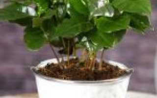 Кофейное дерево (32 фото): как вырастить цветок кофе в домашних условиях, уход за комнатным растением «Арабика»