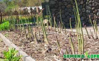 Выращивание спаржи в открытом грунте: уход и как вырастить овощ на даче из семян, как