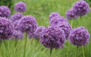 Декоративный чеснок (15 фото): название цветка, посадка и уход, применение в пищу