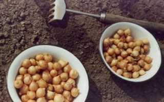 Обработка лука перед посадкой марганцовкой и солью: как замачивать и сколько держать в растворе, дозировка ингредиентов