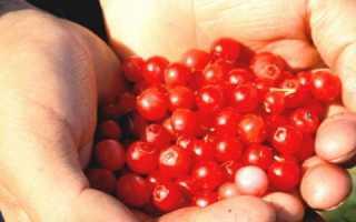 Полезные свойства и противопоказания клоповки: лечебные качества сахалинских ягод. Как красника влияет на давление – повышает или понижает?