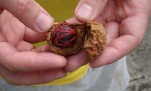 Мускатный орех с кефиром: как употреблять и правильная дозировка, эффект и последствия, отзывы