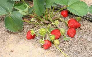Клубника «Остара» (35 фото): описание сорта ремонтантной садовой земляники, отзывы садоводов