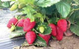 Клубника «Монтерей» (16 фото): описание и характеристика ремонтантного крупноплодного сорта садовой земляники, отзывы садоводов
