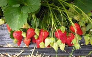 Клубника «Роксана» (19 фото): описание сорта садовой земляники, отзывы садоводов