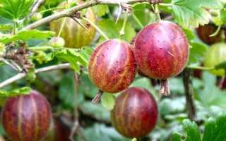 Крыжовник (58 фото): как выглядит куст и ягоды обыкновенного крыжовника? Как приготовить морс из спелых плодов?