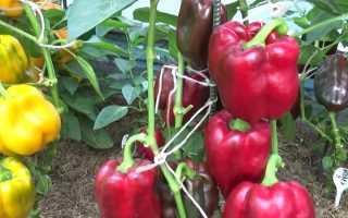 Выращивание болгарского перца в открытом грунте и уход за ним: посадка такого растения в теплице.