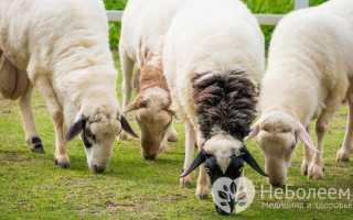 Овечье молоко: польза и вред, как называется молоко овец и что из него делают, какова жирность продукта