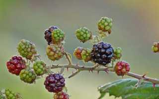 Как размножить ежевику? Размножение растения черенками и саженцами осенью. Как ее рассадить верхушечными отводками?