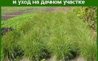Чуфа (Земляной миндаль): польза и вред, применение, выращивание, посадка и уход