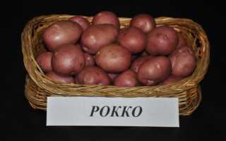 Картофель «Рокко» (17 фото): описание сорта, характеристика и вкусовые качества овоща, отзывы
