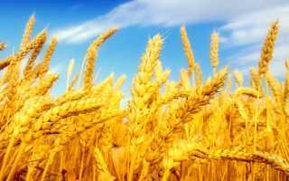 Пшеница (41 фото): как выглядит растение, польза зерна, урожайность, состав и калорийность семян, когда созревает и как растет