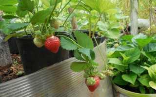 Клубника «Кардинал» (16 фото): особенности и описание сорта садовой земляники, как размножается, отзывы садоводов