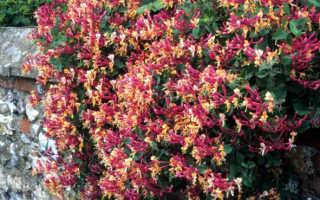 Вьющаяся жимолость (29 фото): описание декоративного сорта кустарника «Серотина», посадка и уход
