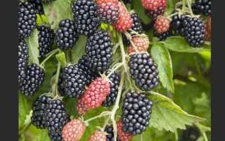 Ежевика «Полар» (15 фото): описание сорта, выращивание и отзывы