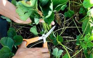 Когда обрезать викторию? Обрезка растений после сбора урожая летом, как нужно правильно обрывать листья на зиму